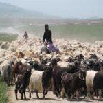 آغاز کوچ بهاره عشایر به مراتع مناطق ییلاقی لاریجان