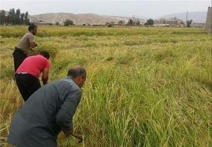 کاهش عیار بذر برنج مازندران در فصل شالیکاری