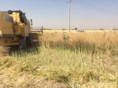 پیش بینی برداشت ۳۰۰ تن دانه روغنی کلزا از اراضی شالیزاری و خشکه زاری آمل