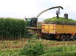 تامین علوفه مورد نیاز دامداران منطقه به خوراک با کشت ذرت علوفهای در ۴۵ هکتار ازاراضی کشاورزی شهرستان آمل