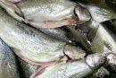 بازار ماهی مازندران در تسخیر تولیدات غیربومی