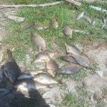رئیس اداره حفاظت محیط زیست آمل خبر داد: تلف شدن ۲۴۳ قطعه ماهی براثر شیمیایی شدن یک نهر در آمل